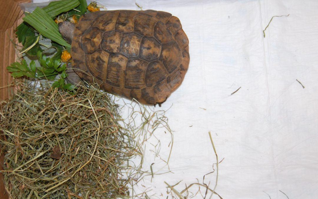 Żółw Leonardo