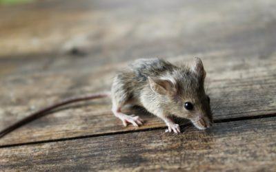 Mysz Małgosia