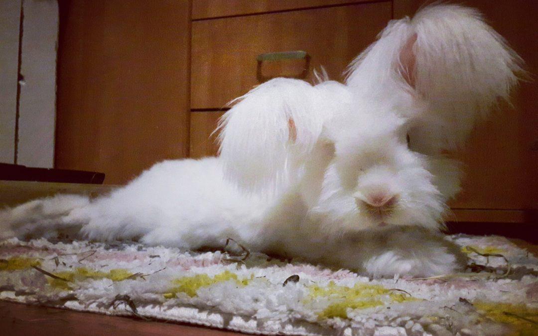 Kompendium wiedzy- królik