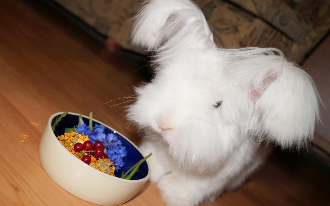 Żywienie królików z nadmiarem osadu wapniowego w pęcherzu