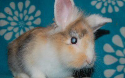 Encefalitozoonoza u królików – czyli czujność przede wszystkim