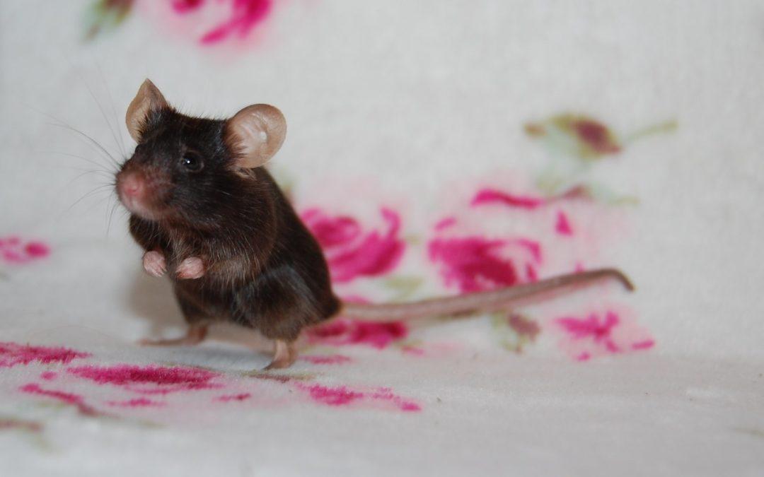 Kiwi- mysz