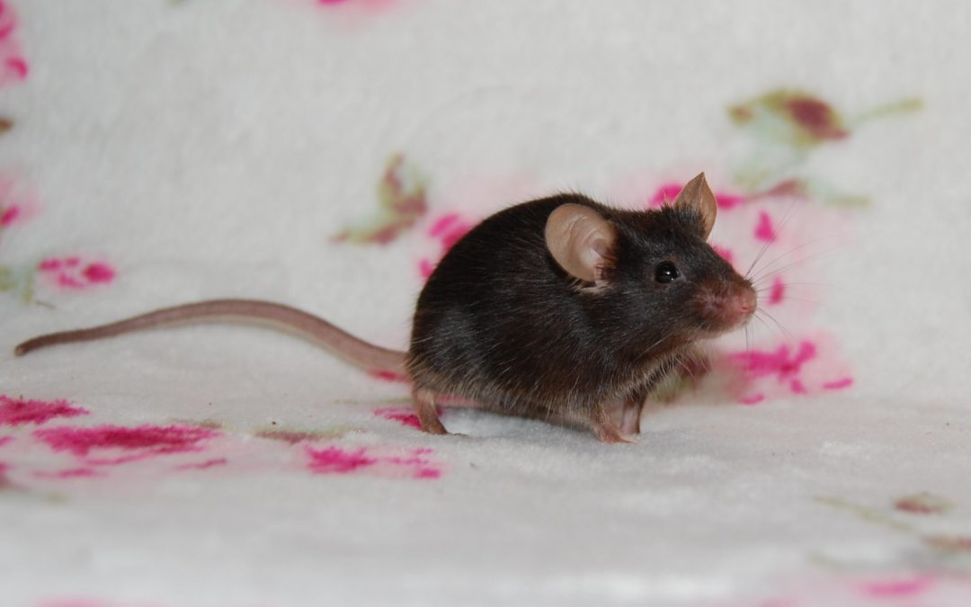 Liczi- mysz