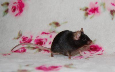 Mango- mysz