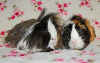 Carex i Milton- świnki morskie