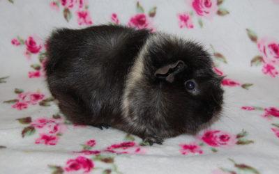 Jenifer – świnka morska
