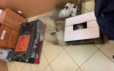 Stado kalifornijskich królików porzucone w lesie