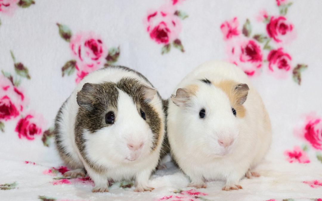 Dwukropek i Pytajnik – świnki morskie