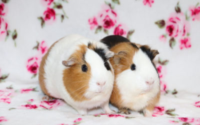 Izobara i Izochora- świnki morskie Adopcja wstrzymana